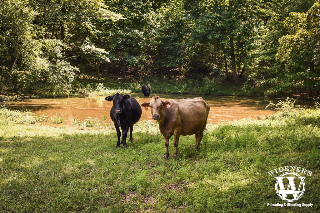 a pair of cows standing outside an agricultural pond with water tested as part of this filter project